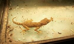 I am looking to sell: 1) Trio of fan-toe geckos (1 male, 2 females). Feeding well on crickets. Should be breeding size in the spring. ($25/trio) 2) Male spider gecko (Agamura persica). He is doing very well, feeding on crickets. These geckos are virtually