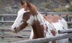 8 yr old registered beautiful blue-eyed paint  gelding for sale. Eye-catching color pattern. Lean, smooth confirmation. Good sized feet. Strong bone structure. Well versed in arena training. Knows leads , sidepasses etc. Quiet on the trail. Good with