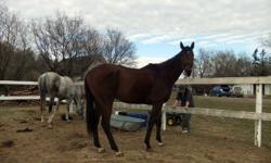 Cliff Dweller (aka. Cliffy) is a bay 8 year-old gelding. His is 16.2-16.3 hands high. Cliffy has been racing since he was two and does have some damage two his ankles but they are being worked on and are starting to heal up nicely. Cliffy seems to be