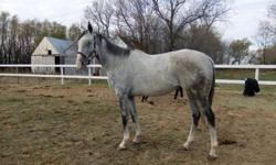 Legitimate Heat (aka. Heater) is a dapple grey 8 year-old gelding. He is 16.3-17 hands high. Heater has been racing since he was two and has some damage to his ankles which are currently being worked on . He has been ridden mostly just english, but he