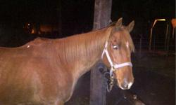 Flash is a 12-15 year old gelding who needs a good home, Flash load, clips, and ties. He has great ground manners and is great under saddle, would be good for a first time rider. he gets lame in his front (vet checked and x-rayed) we believe it can be