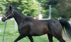 Crossbred, sound, healthy, no vices, ready for further training. Moved to town, must sell him and everything else (check my other ads). For more pictures, a video & more information please call or email. Thanks