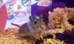 Our Gerbil is a female who is 4 months old.Shes very energetic & absolutely adorable.She has to go to a loving home ASAP!   She is Gray with a little white on her. She's affectionate and very loving. She comes with a pink & purple gerbil cage,The water