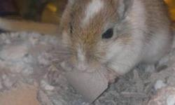 I am selling my Gerbil (and his home) for $40 ($120+ value). My gerbil Winston Churchill needs a loving home! Reason for selling: I am traveling the month of December and won't be able to look after him and want to find him a good home before then. What