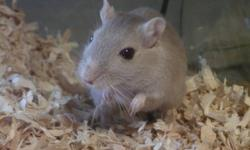 Two female gerbils, approx one year old.  One is most likely an Argente Golden, the other a Lilac, both with red eyes.  They are sisters and have lived in the same habitat their whole lives.  Very friendly and handleable, neither has ever bitten.  These