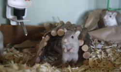 Seven young gerbils for sale buy one get one free!!! Gerbils make loving pets and are fun to play with during the day!! Social and lively fun to watch running around!! They could be yours for only $5 each and remember if you buy one you get one FREE!!