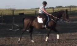 10 yr old 16.3+hh TB gelding. Good mover. Forward stride. Intermediate ride. Started over x rails and will move up quickly. Needs polishing on the flat(going on the bit, changes).Bold and well mannered in a new environment. No vices. pretty easy keeper.