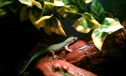 Get your kid the perfect gift by getting them a beautiful Gecko! Ed is a 5-year-old gecko in need of a new home. He accepts hand feedings, doesn't like to be handled but is fun to watch and is definitely an exotic gecko & he's not messy. He comes with a