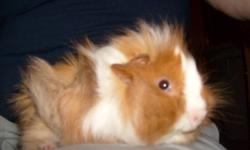 Hello, I am offering my pet Guinea Pig (male) for sale for $20.00. He's very young still (likely under a year or even six months), I bought him from a pet shop about 3 months ago as a little one and he's been wonderful and very healthy. There is