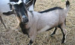 Pygmy/Alpine buckling for sale.  Born May/11. He is a tricoloured, blue-eyed beauty.  Located 45 minutes south of Saskatoon.