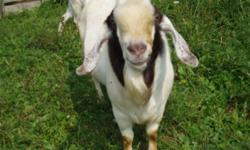 For sale; 1 Boer buck...4yrs old 7 Does...sannan/nubian/toggenburg/alpineX 9 goat kids...same as does but with Boer father (sold 2 smallest)