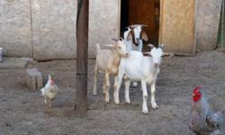 boer x saanen goats,1 buckling  7month old, intact left $150 ,1 doeling 4+month $130