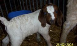 -young meat goats(LIVE)   -females 3.00 per lb   -males 2.75 per lb   -going fast call today   -Cory or Bob 519-798-9912