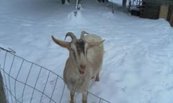 We have for sale 2 goats.  $ 100.00 each.  The female is approx. 3 years old, (THE FEMALE HAS BEEN SOLD) and the male is about 11 months old.  The nanny is the beige colored goat pictured, and the billy is the black and white one. Both goats are gentle