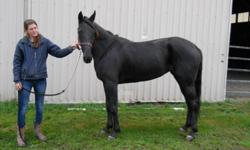 Sea Beauty DOB June 1 2008 Colour black Sex filly Height 15.2h Entered GP Oct. 8,2011 Rider level intermediate Adoption fee $750 standardbred horse Beauty is a stunning filly who came off the track as she wasn't making enough money to cover her training