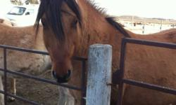 Great looks , great personality. This gorgeous gelding has it all. Well broke, used as a camp trail horse, done 4H, shows, ranch work and gymkhana. Excellent personality, no bad habits. He is eight years old and 15 hh. I also have a filly that looks just