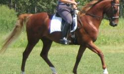 April Mist is a flashy chestnut with flaxen mane and tail and 3 white socks. She is 16h and 10 years old. April is versatile and a great all-round horse with correct confirmation, good blood lines, and a pleasing personality. Professionally trained for