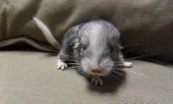 I have a beautiful white mosaic baby female chinchilla available for sale, she was born on November 30, 2011, so she should be ready to go around the middle of january, or later, depending on how well she is doing at weaning. She will come with a pedigree