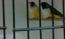 i have Gouldian finch   for sale  Male   and  female  $ 110 for both  7 months old      Cage                   $60                           Thanks
