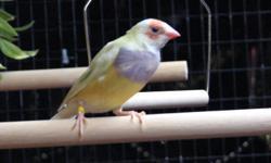 Gouldian pair for sale 1 hen red head, purple breast yellow 1 male, red head, purple breast dilute