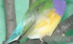 PIC#1--- Male Gouldian Finche singing like crazy $65 PIC#2-- Young Male Gouldian Finche starting to sing $50 PACKAGE:The 2 Gouldian Finches With Cage (PIC#3) $165 PIC#3---Only 3 left Brand New With Stand $75 each Good for Small Birds,
