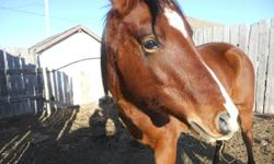 This guy is a 7 year old grade arab/saddlebred mix. He is utd on deworming and took it good. He has a nice head,legs and feet. He has the typical arab attitude but is only halterbroke at the time. Hopefully going to start him under saddle soon. He has a