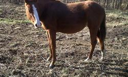"""Grade Quarter Horse sorrel filly, coming 2 yrs old in the spring. Quiet and friendly. Good conformation... well balanced, nicely muscled, straight legs. Athletic.. Bred to have some brains, and some cow sense as well. Sire is """"Smartly Freckled Rio"""""""