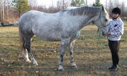Tyson is a registered Quarter Horse, 9 years old, 15.3hh. He has been ridden for 2 years in Pony Club, not spooky. Ridden mostly English, he has done some jumping and lots of trail riding. Has been ridden western. Farrier work, vaccines and deworming are