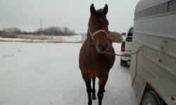 PHONE CALLS ONLY! Please call Marcel at 204-859-2279.   7 yr old Grade Bay Mare. She is 14.1/14.2hh, well built and very quiet. She neck reins, has been used on trail rides and used to chase both cows and horses. She is used to a rope and would be