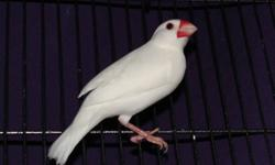 I have a white male (13 months old) and a silver opal female (2 yrs) and their babies for sale.  Trying to downsize my breeding right now for personal reasons.  All birds are extremely healthy, active and well-cared for.  I have bred & sold many javas and