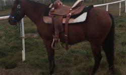 Hi there, this is a great kids horse, has ran all gymkhana events, used to work cattle, cattle penned and been ridden on poker rallies and in the mountains; has great feet, never been shod, no health issues, easy to catch, hauls well in the trailer. He is