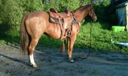 Flashy, well built and great moving gelding. He is only green broke. Been rode on lots of trails, not alot of arena work. Can stand tied all day, great to load, great with farrier, shots. easy to bridle and saddle. Just needs someone to put miles on him.