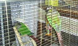 2 male Green Cheeked Conures for sale without a cage.  Not trained.  About three years old.