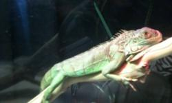 I have a green iguana for sale he comes with his tank. Don't have time for him anymore cuz of work. He was very tame, he would wonder all over the house. He needs someone who would take the time to tame him. He wouldn't take long to get back to how he