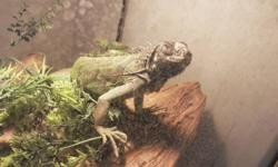 Hi, i have a 3 foot long green iguana who is tame, healthy, eats well, and loves baths. I am selling it because i do not have the time for it anymore. it comes with all accessories (UV light, heat lamp, water dish, tank, etc). I am willing to let it go