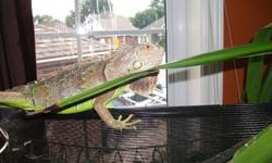 Beautiful 3 foot Green Iguana with 4'x2.5' mesh enclosure, lamps and accessories. Looking for someone who will enjoy and care for my Iguana as I am moving and am unable to bring him with me. He has had free rein of the house and has lived freely with my