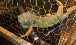 selling a green male iguana hes' around about 3 years old. it comes with all that you see in the pic, you just need food!