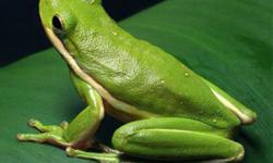 Green Tree Frog-$25 Green Anole Lizard-$15   $30 if you take both.   Please view my other ads.