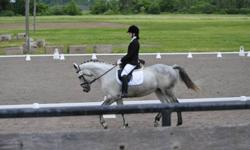 """Dee, also known as """"My Trade Agreement"""" 13 years, 16.1 hh, grey, Percheron X TB, mare. She has competed successfully over the summer in First level Dressage. Received Reserve Champion in the Ontario Championships. She is currently training in 2nd Level."""