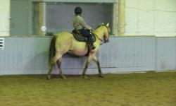 We have a 14 year old buckskin show gelding.  13.3HH has had his teeth floated this fall, utd on everything!  Well finished, has all the buttons.  He has been in 4H for several years and used for lessons.  He is not for a true beginner as he will test a