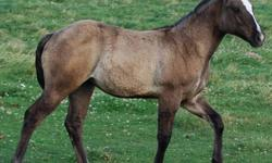 Anya is a gorgeous stocky filly.  She has a very solid build.  Cute filly.  Should mature to be approx 15.1-15.2 hh.  She is weaned and eatting hay and a high quality foal ration.    other foals are avalible.  Please check out out our other adds or visit