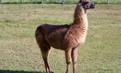 I have a very large guard llama for sale he would be great for sheep or goats , he is not casterated ,   His name is Carlito and he is a very beautiful animal. Email or call after 3pm, please