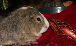 Handsome male Guinea Pig   Grey/Brown Agoute colouring, white markings on head   Big Pink ears   Just under a year   Played with by young children daily   Doesn't mind being dressed up in doll clothes   Squals like a piggy pig when he needs food or water.