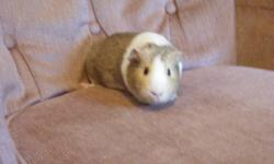 My son bought a guinea pig but is now allergic to the bedding. We are selling the guinea pig, cage, bedding, food, hay, food dish, water bottle and leash. Would make a great Christmas gift for any child. A great way to teach responsibility. Goes for $50