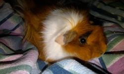 Adorable guinea pig for sale. She is just over a year old, litter trained (mostly), and very sweet. She loves to play and I don't have the time for her that she deserves.