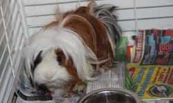 He is a 2 years old long hair Guinea pig. Very cute and clever this price is including with a medium size cage, a large bag of wood shavings, half bag of dried grass and a canteen. kitslano area, have to be picked up by yourself. Thanks