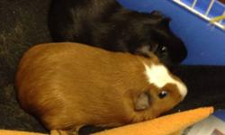 I am selling my two guinea pigs as I do not have time for these poor girls! They are a year old and the best of friends so I will not sell them separately. They come with: -2'x4 cage (there is damage to the cage, it's not leaking and is the right size for