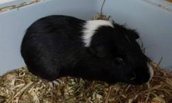 Black and white guinea pig , female,  5 months old , great pet, got guinea pig two months ago,  my daughter is allergic , great deal for someone Guinea pig cost 50.00 Large cage cost 125.00 Big box (6 month supply) Timothy hay cost 35.00 assecories cost