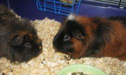 Reduced.!! Was $20.00---- NOW FREE. My girls currently have 4  Guinea  Pigs, which turned out to be way too many to handle. We have now come to the sad decision to offer 2 for sale. They are both about 1 year old. Chester is the one with the White tuft of