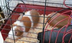 We have 2 male guinea pigs for $10.00 each.  They are very friendly and very attached to eachother so I would not recommend splitting them up.  We are located in Humboldt.  I am coming to Saskatoon on November 1st and could deliver the guinea pigs.  If